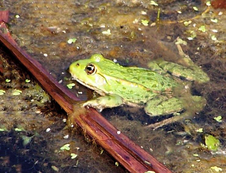 Фото озерной лягушки