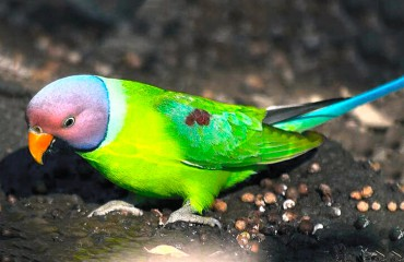 Сливоголовый или красноголовый кольчатый попугай