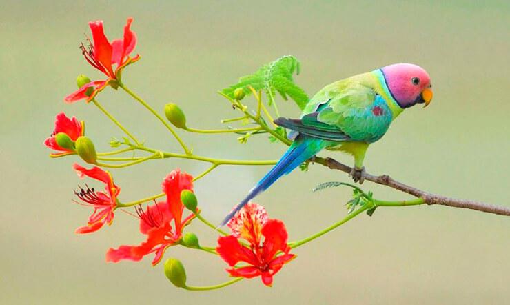 Фото красноголового кольчатого попугая