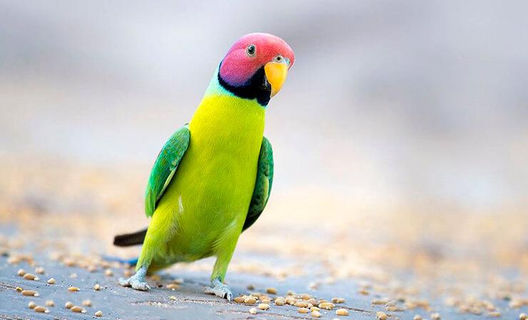 Сливоголовый попугай фото