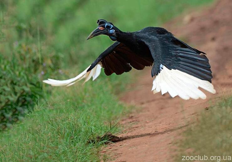 Фото абиссинского рогатого ворона