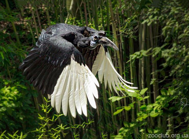 Фото рогатого абиссинского ворона