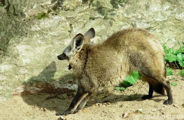 Картинка с большеухой лисицей