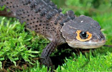 Крокодиловый сцинк, или триболонотус стройный
