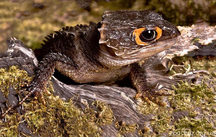 Крокодиловый сцинк фото