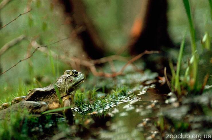 Лягушка-бык фото