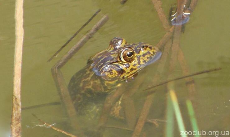 Фото лягушки-вола