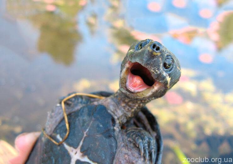 Обыкновенная мускусная черепаха фото