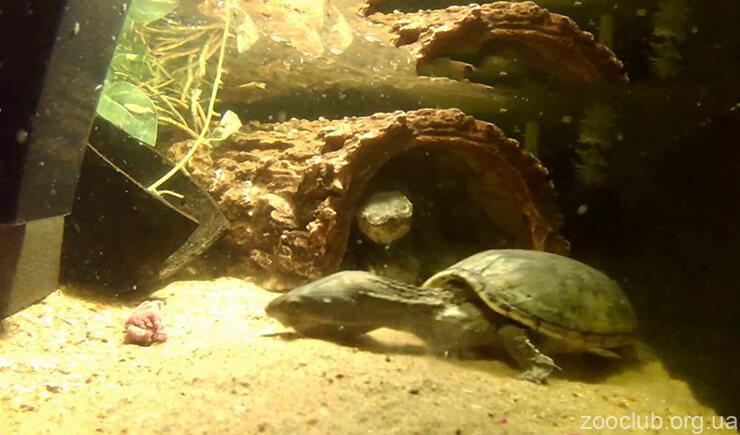 Картинка с обыкновенной мускусной черепахой