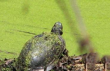 Звичайна мускусна черепаха