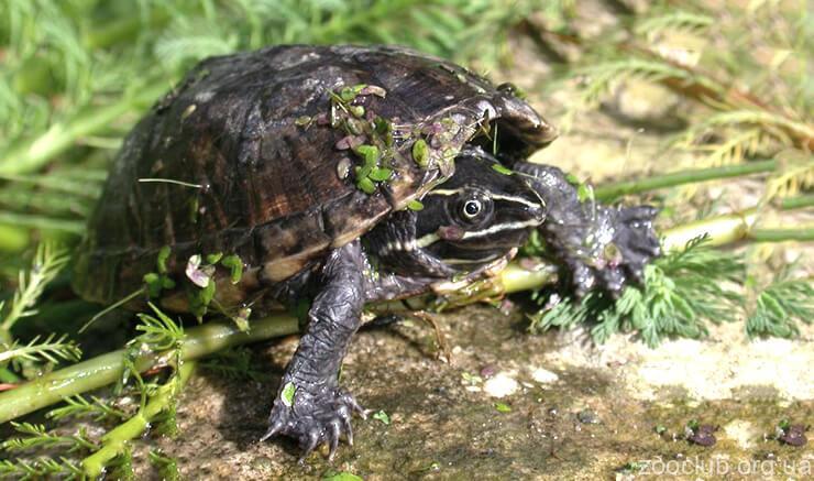 Черепаха обыкновенная мускусная фото