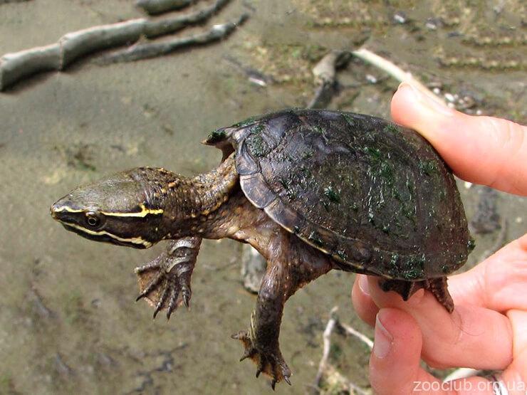 мускусная обыкновенная черепаха фото