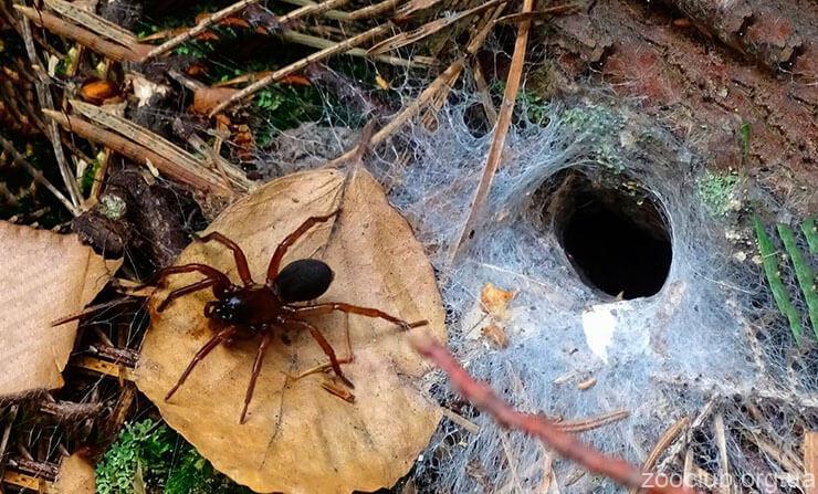 Сиднейский воронковый паук фото
