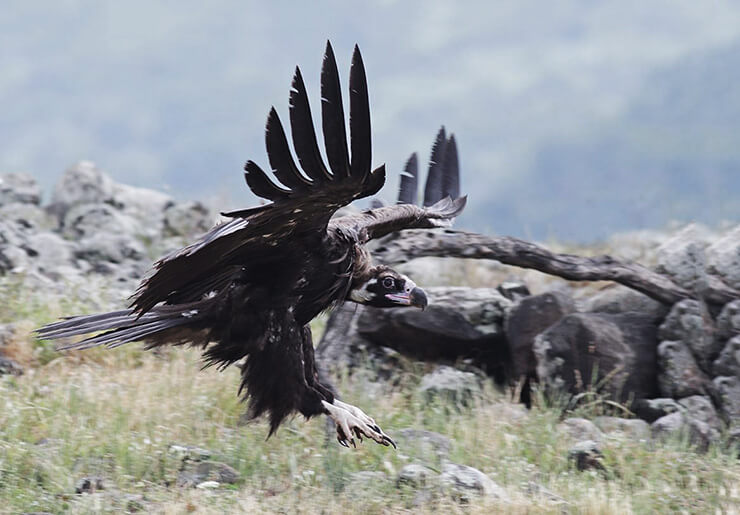 Американский черный гриф, или американская черная катарта фото