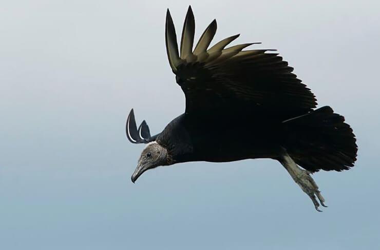 Фото американского черного грифа