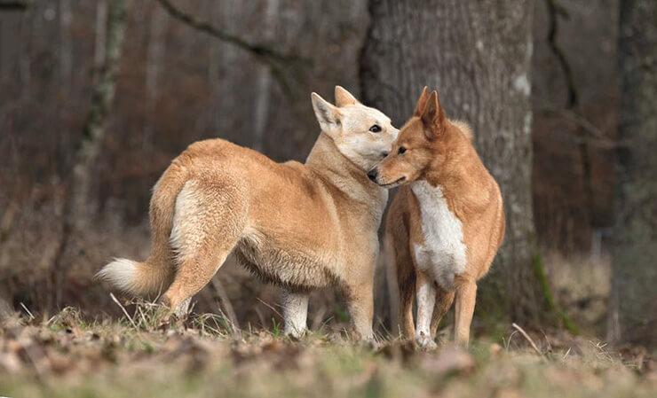 Собака ханаанская фото