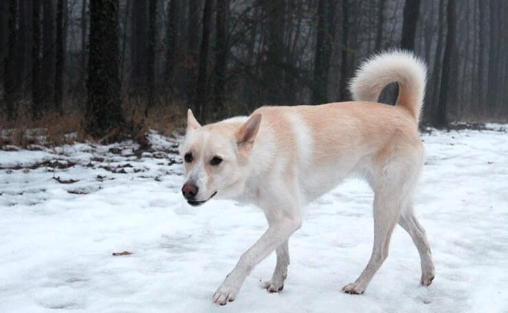 Ханаанская собака картинка