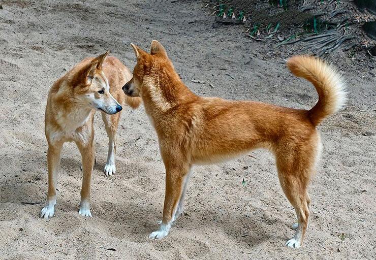 Фото ханаанской собаки
