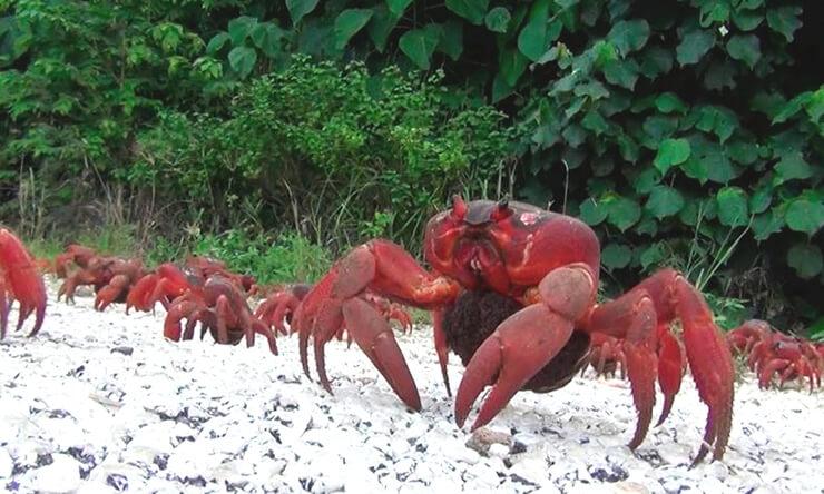 Красный краб острова Рождества фото