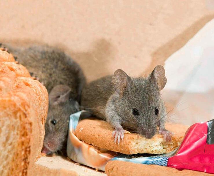 Мышь домовая фото