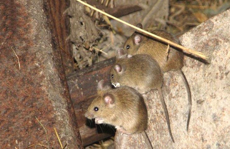 Фото домовой мыши
