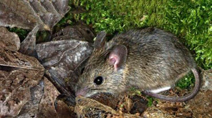 Фото мыши домовой
