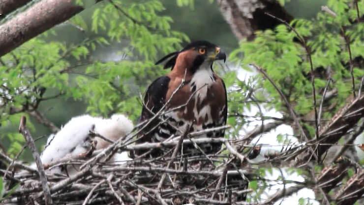 Фото нарядного хохлатого орла