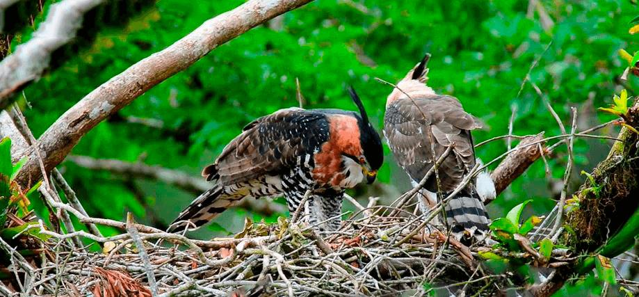 Фото орла нарядного хохлатого