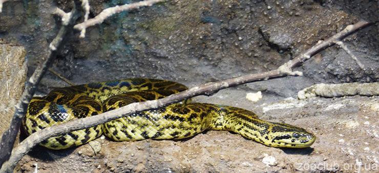 фото парагвайской анаконды