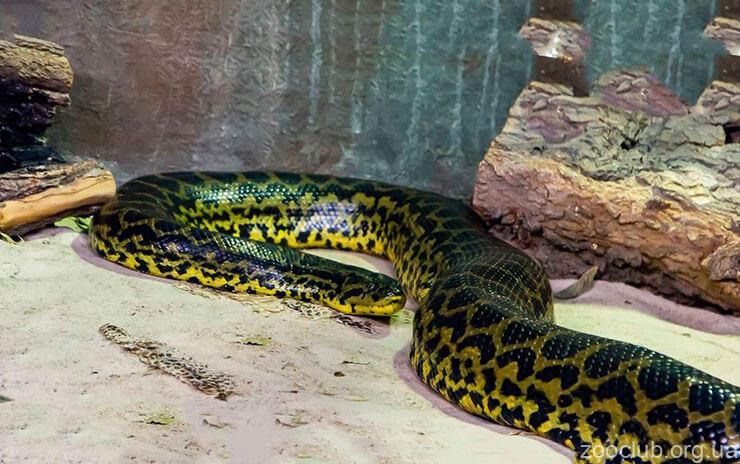 Фото анаконды парагвайской