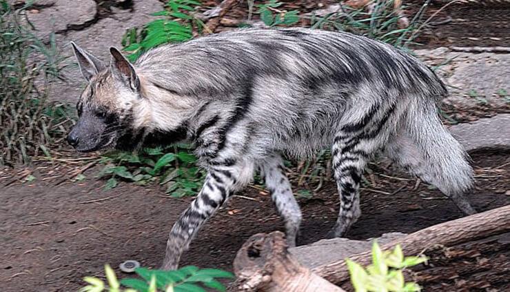Фото полосатой гиены