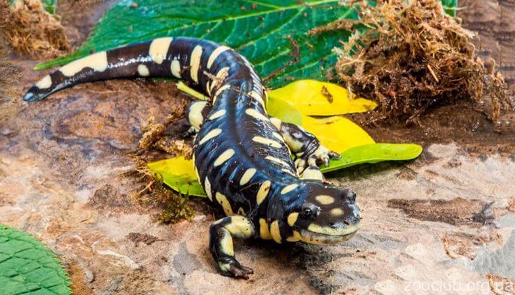 Тигровая саламандра фото