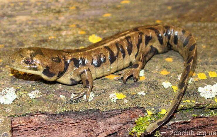 Фото тигровой саламандры