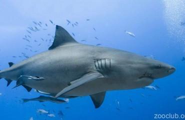 Акула-бык, или тупорылая акула