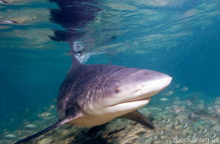 Фото акулы-быка