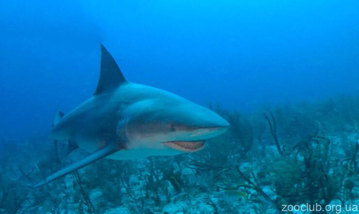 Фото тупорылой акулы