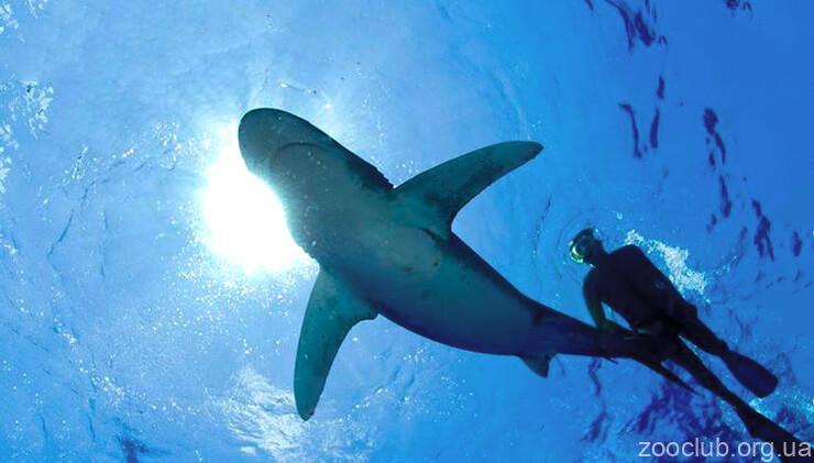 Фото Carcharhinus leucas