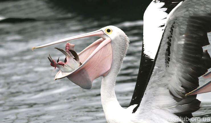 Пеликан австралийский фото