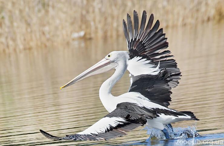 Фото пеликана австралийского