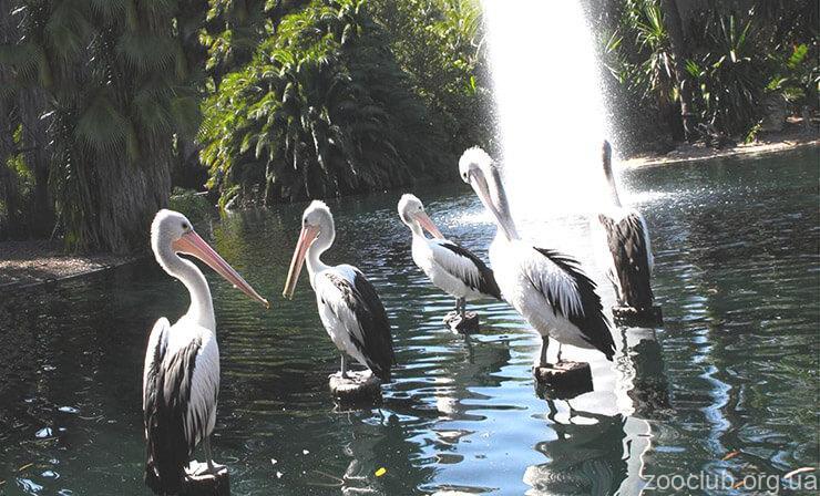 Фото австралийского пеликана