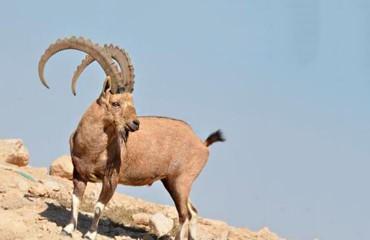 Нубийский горный козел