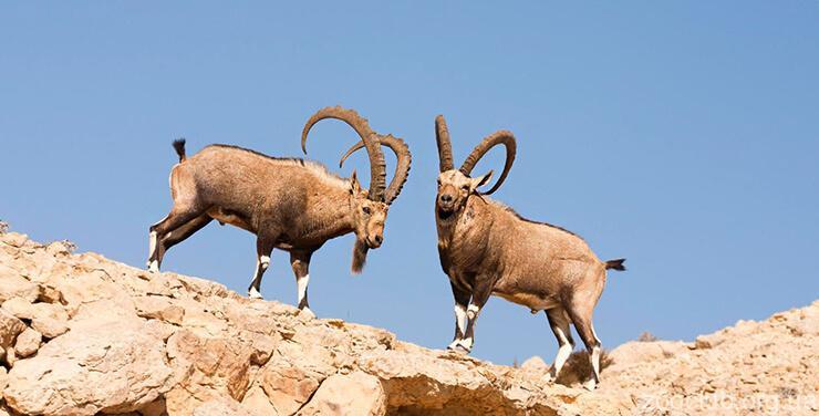 Козёл горный нубийский фото