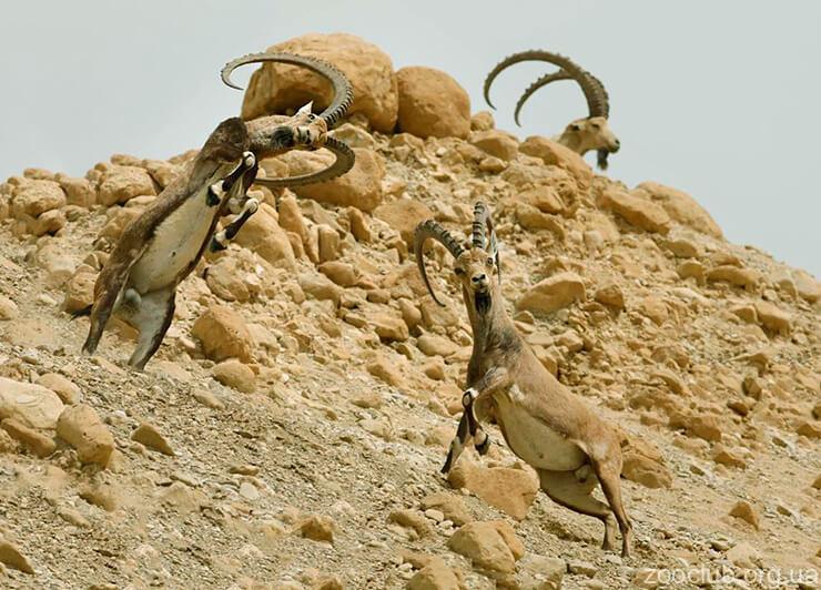 Фото нубийского горного козла