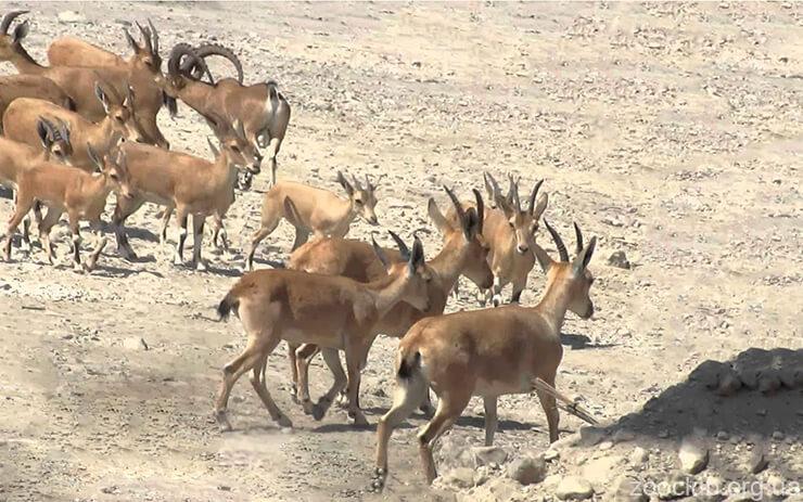 Фото горного нубийского козла