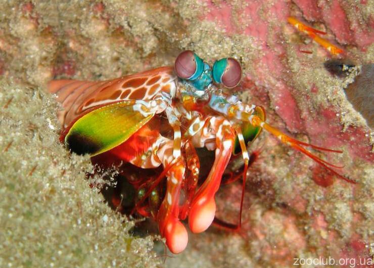 павлиновая креветка-богомол фото