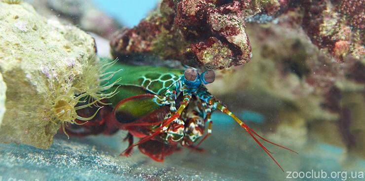 Фото павлиновая креветка-богомол павлиновой креветки-богомола