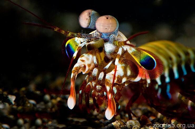 Рак-богомол роскошный фото