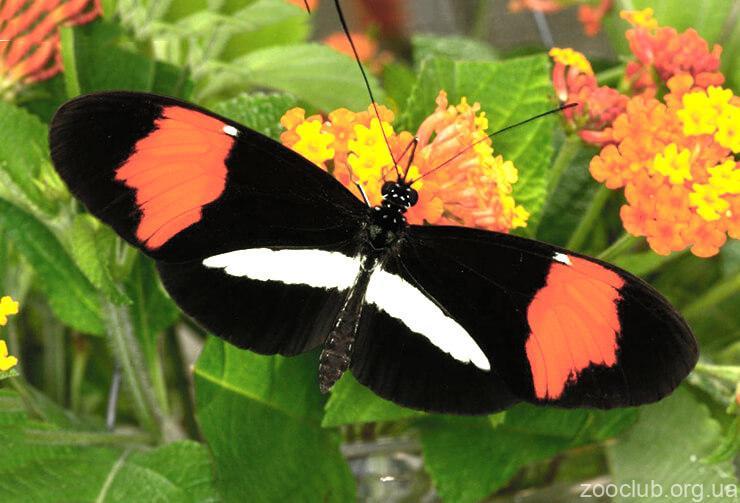 Бабочка-почтальон фото