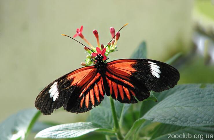 Фото бабочки-мельпомена