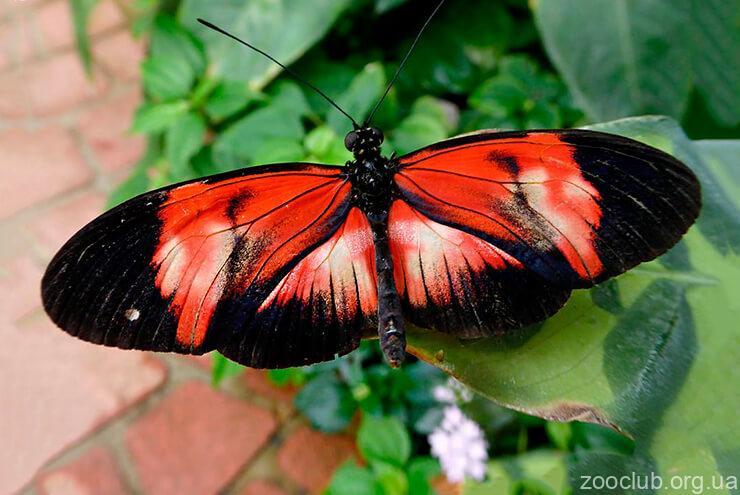Фото бабочки-почтальон